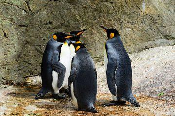 מי מפחד מפינגווין?